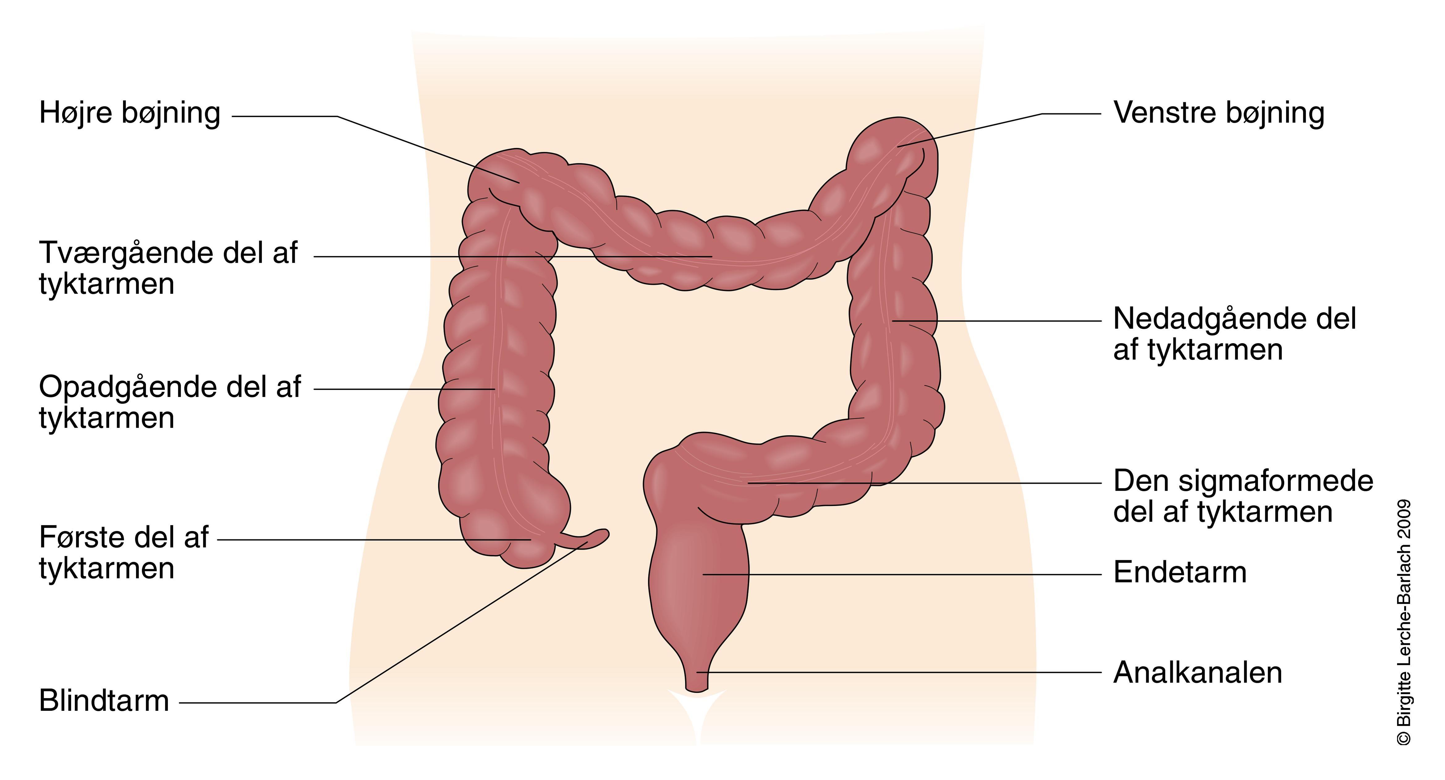 Kroppens organer oversigt